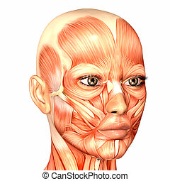 anatomía, cara femenina