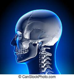 anatomía, cerebro, blanco, -, cráneo