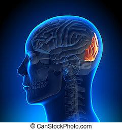 anatomía, cerebro, lóbulo, -, occipital