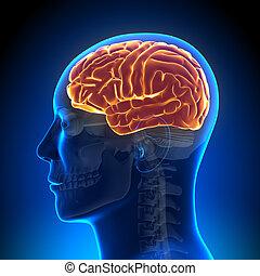 anatomía, cerebro, lleno, -