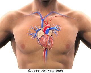 anatomía, corazón, humano