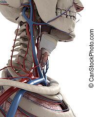 anatomía, cuello, humano