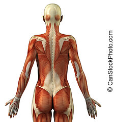 anatomía, de, hembra, sistema muscular