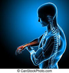 anatomía, de, macho, mano, dolor, en, azul