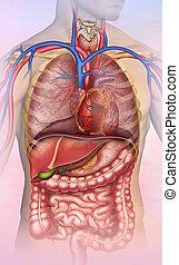 anatomía, del, tronco, humano