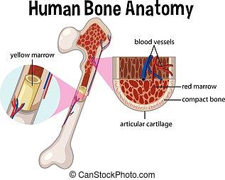 anatomía, diagrama, hueso humano