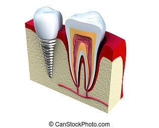 anatomía, dientes, sano