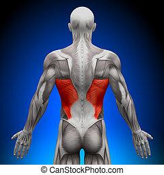 anatomía, dorsi, músculos, -, latissimus