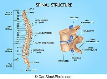 anatomía, espina dorsal, realista, gráfico