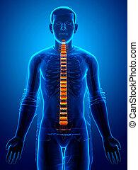 anatomía, espinazo, disco intervertebral