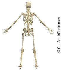 anatomía, esqueleto humano, vista trasera