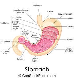 anatomía, estómago, humano