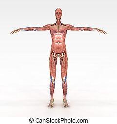 anatomía, exacto, hembra
