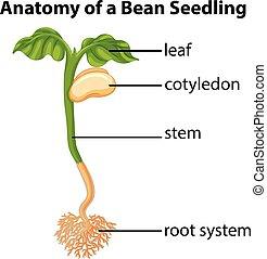 anatomía, frijol, gráfico, planta de semillero