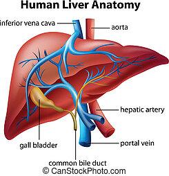 anatomía, hígado, humano