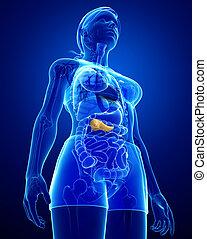 anatomía, hembra,  páncreas
