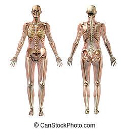 anatomía, hembra, semitransparentes