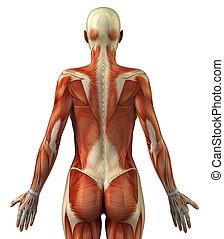 anatomía, hembra, sistema muscular