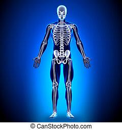 anatomía, huesos, -, esqueleto