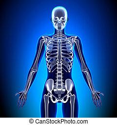 anatomía, huesos, -, esqueleto, hembra