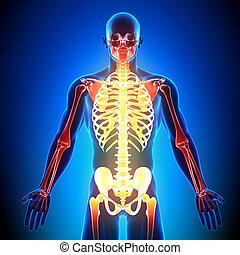 anatomía, huesos, skelton, -, detalle