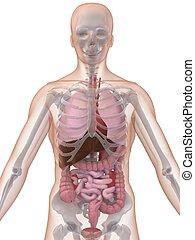 anatomía, humano