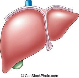anatomía, ilustración, humano, hígado