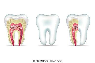 anatomía, ilustraciones, tres, diente