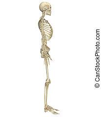 anatomía, lado, esqueleto, humano, vista