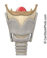 anatomía, laringe