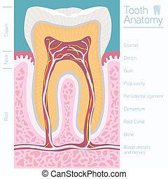 anatomía, médico, palabras, diente