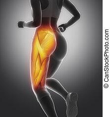 anatomía, músculo, muslo, hembra