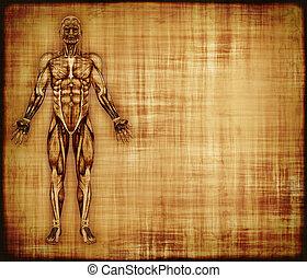 anatomía, músculo, pergamino