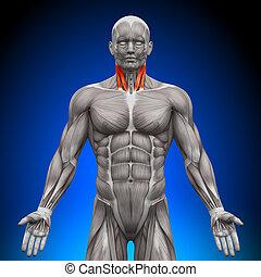 anatomía, músculos, -, cuello
