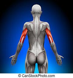 anatomía, músculos, -, hembra, tríceps