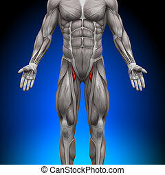 anatomía, músculos, -, muslos