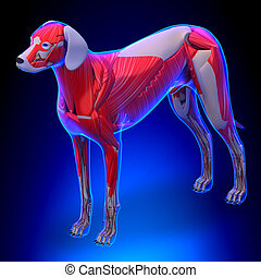 anatomía, músculos, -, perro, macho