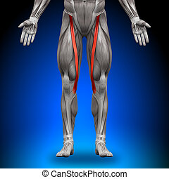 anatomía, músculos, -, sartorius