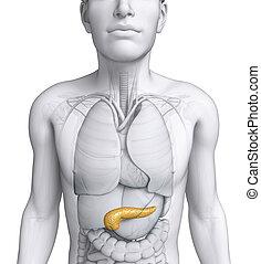 anatomía, macho,  páncreas