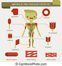 anatomía, macho, sistema, muscular