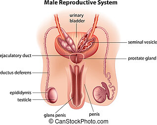 anatomía, macho, sistema, reproductor