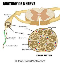 anatomía, nervio