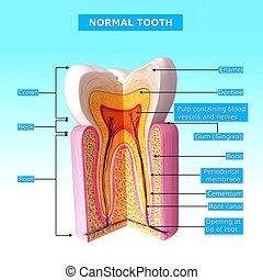 anatomía, normal, nombres, diente