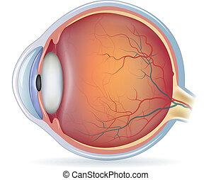 anatomía, ojo, humano