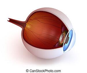 anatomía, -, ojo, interior, estructura