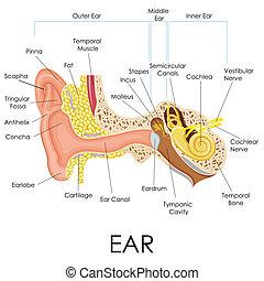 anatomía, oreja, humano