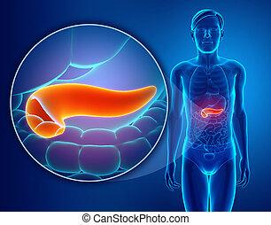 anatomía,  páncreas