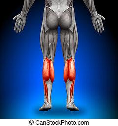 anatomía, pare, músculos, -
