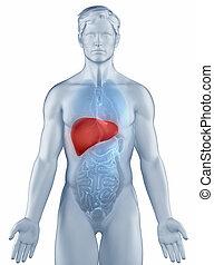 anatomía, posición, hombre, Hígado, aislado