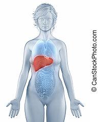 anatomía, posición, mujer, Hígado, aislado